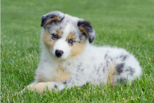 australian shepherd welpen vom h tehund zum familienmitglied. Black Bedroom Furniture Sets. Home Design Ideas