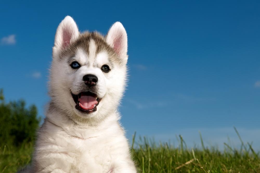 husky welpe kaufen