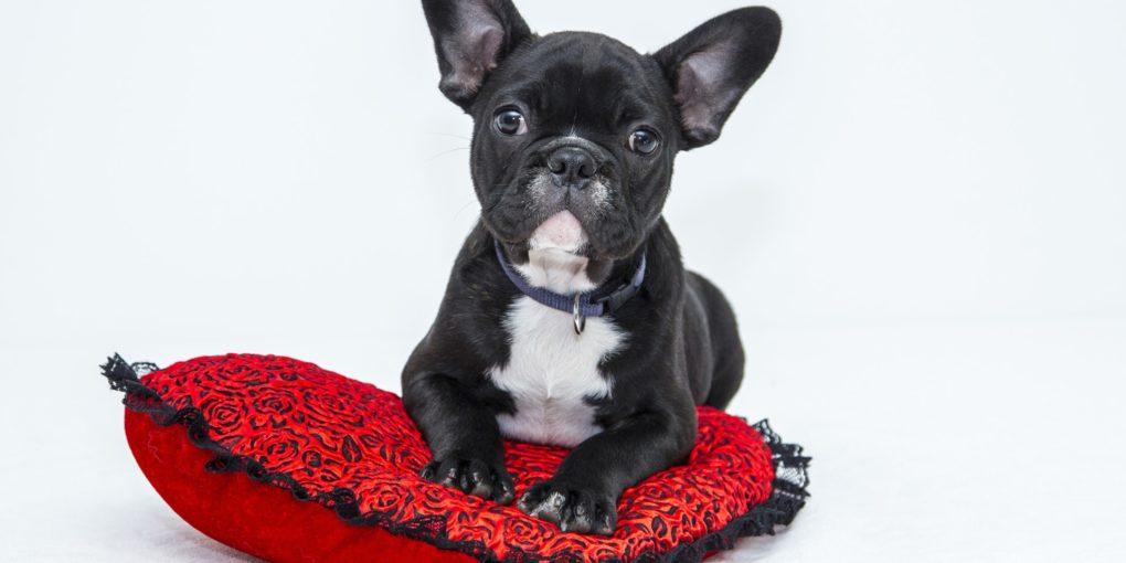 Französische Bulldogge Welpen rotes Kissen