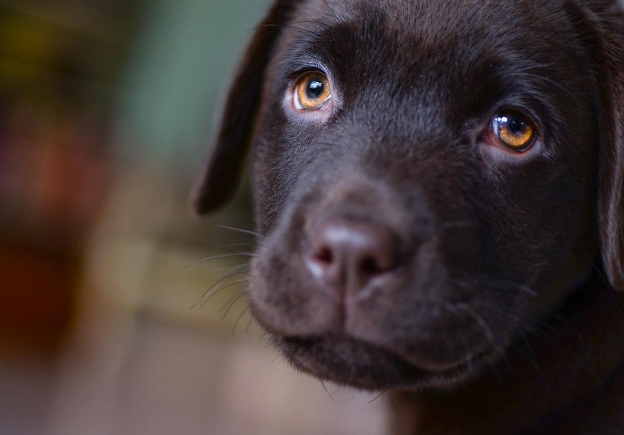 dog-face-labrador-smile-407082