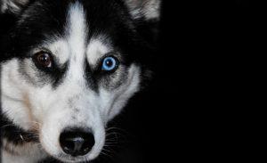 Husky Welpen blaues Auge
