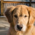 Golden Retriever Welpen frontal 2