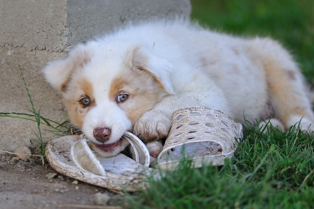 weißer Australian Shepherd Welpe