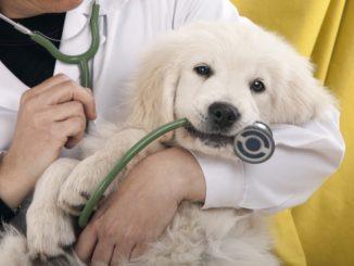 Golden Retriever Welpe beim Tierarzt