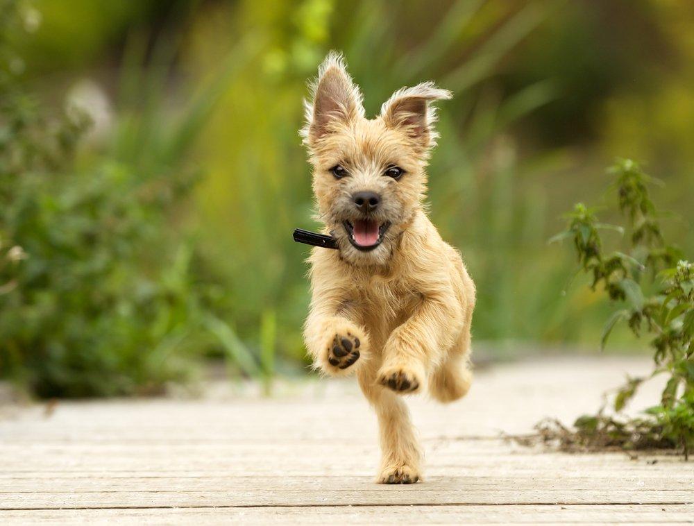 Cairn Terrier Welpe aus artgerechter Haltung