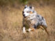 Australian Shepherd rennt