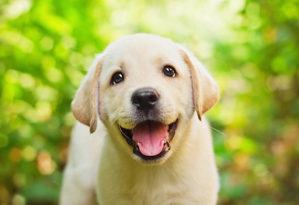 Labrador Welpe